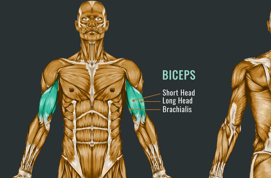 foam-rolling-biceps